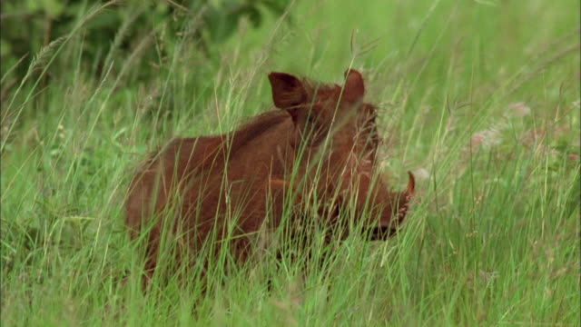 vídeos de stock, filmes e b-roll de a warthog stands and surveys his surroundings. available in hd. - javali africano
