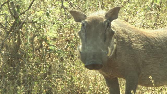 vídeos de stock, filmes e b-roll de a warthog stands in a grassy field. - javali africano