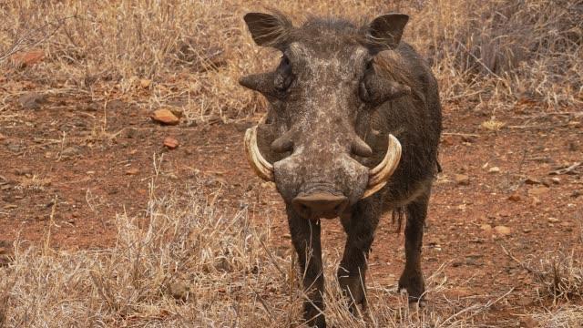 vídeos de stock, filmes e b-roll de warthog que olha fixamente na câmera - javali africano