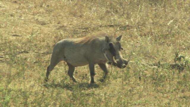 vídeos de stock, filmes e b-roll de a warthog walks across a grassy field. - javali africano