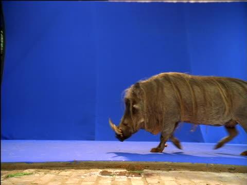 Warthog walks on, stops then turns away