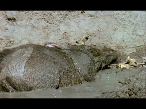 cu warthog wallowing in mud, india - mud stock videos and b-roll footage