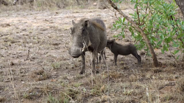 warthog with his young one