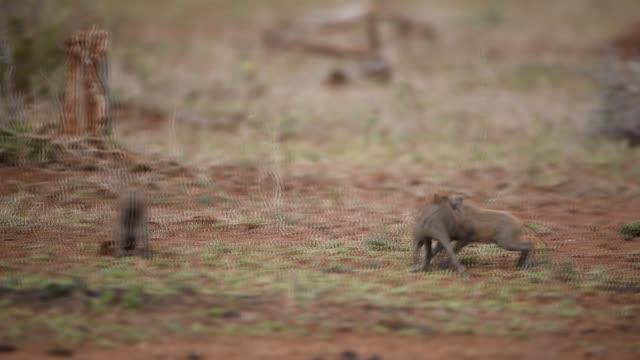 warthog with piglets in the wilderness - pflanzenfressend stock-videos und b-roll-filmmaterial