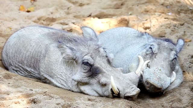 warthogs couple in siesta time - hiccup stock videos and b-roll footage