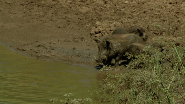 Warthogs drink from a waterhole at the edge of a muddy riverbank.