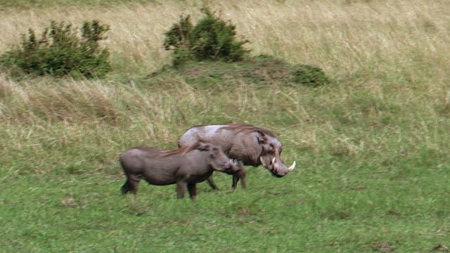 vídeos de stock, filmes e b-roll de warthogs in meadow, kenya - javali africano