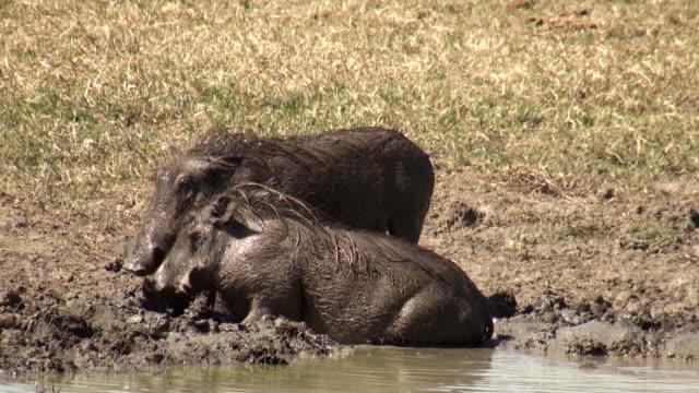 vídeos de stock, filmes e b-roll de javalis desconfiados na lama - javali africano