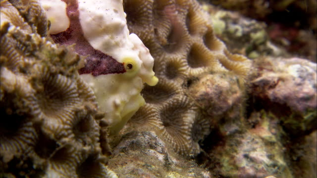 Warty frogfish (Antennarius maculatus) uses lure on coral reef, Manado, Indonesia