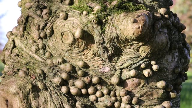 warty growths on the trunk of a holly tree in windermere, lake district, uk. - sistema linfatico video stock e b–roll