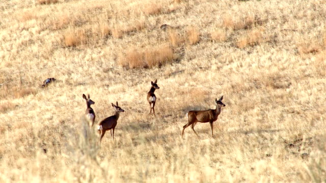 Wary mule deer family does and fawns Western Ranch Oregon 27