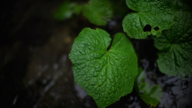 wasabi cultivated in water, shizuoka, japan - wasabi stock videos and b-roll footage