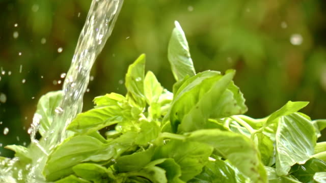 washing basil in slow motion - basil stock videos and b-roll footage