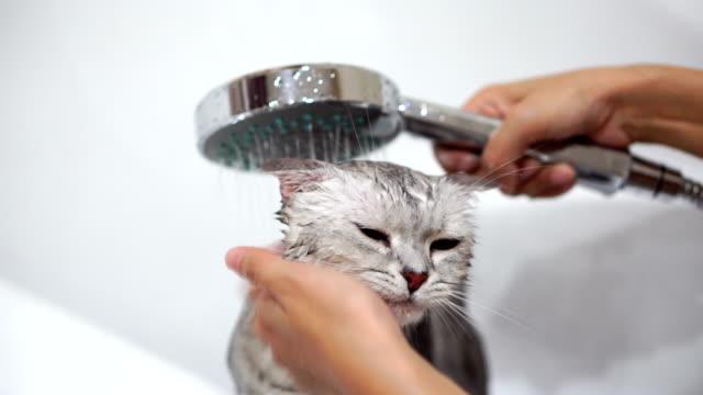 washing cat in bathtub