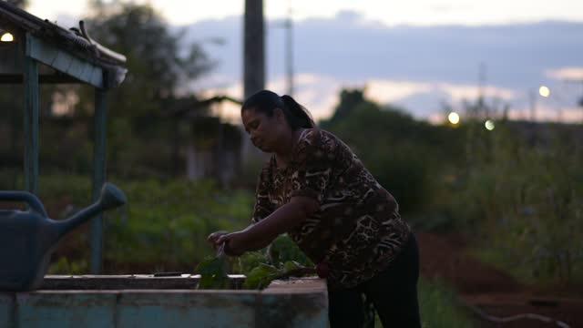vidéos et rushes de laver les betteraves biologiques - représentation féminine