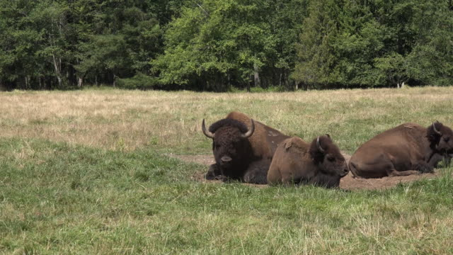 Washington bison lying down