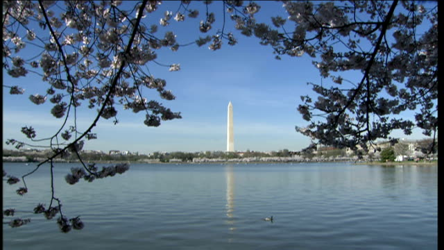 cherry blossom around tidal basin; washington monument framed by blue water and cherry tree branches / duck on shining water surface / dark, strong... - fragility stock videos & royalty-free footage