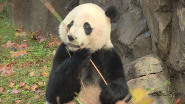 vídeos y material grabado en eventos de stock de washington dc's national smithsonian zoo said goodbye to bei bei its 4 year old giant panda the animal is heading to china to join the breeding... - instituto smithsoniano
