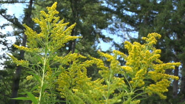 washington goldenrod and bugs zoom - temperate flower stock videos and b-roll footage