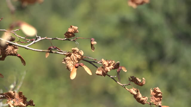 washington maple seed brown - twig stock videos & royalty-free footage