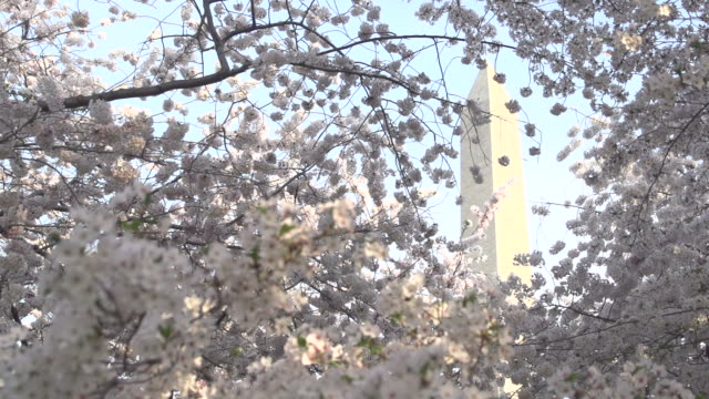 washington monument behind cherry blossoms - political action committee stock videos & royalty-free footage