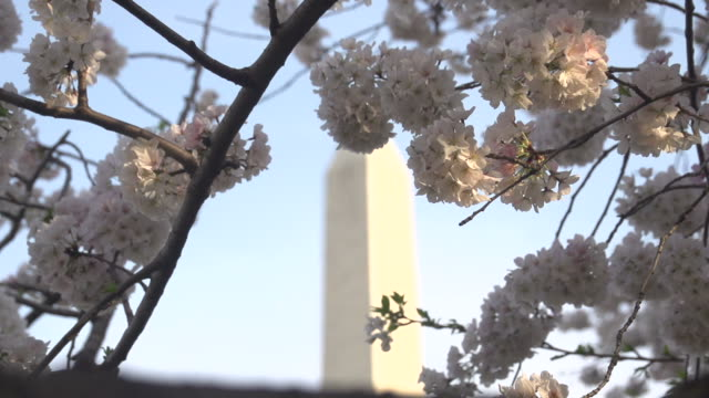 washington monument behind pink blossoms - cathedral stock videos & royalty-free footage