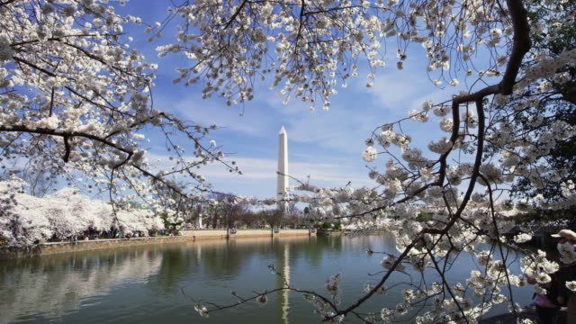 washington monument with cherry blossoms and tidal pool in real time.. - washington monument stock videos & royalty-free footage