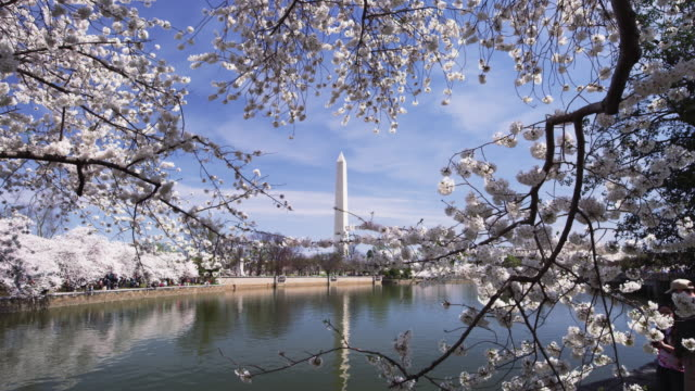 Washington Monument with cherry blossoms and tidal pool in slow motion..