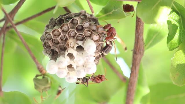 Wasp and nest on tree (Hymenotera)
