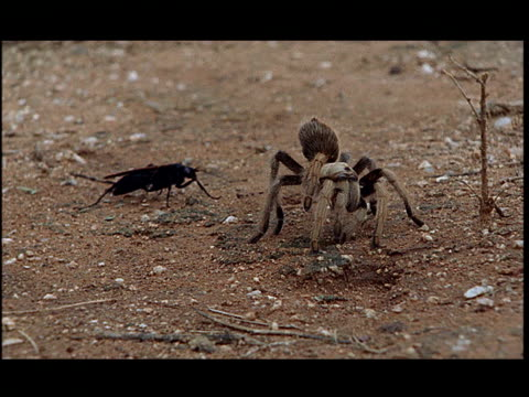 a wasp attacks a tarantula. - 攻撃的点の映像素材/bロール