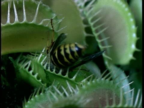 vídeos y material grabado en eventos de stock de cu wasp caught in venus flytrap, dionaea muscipula, insectivorous plant, united kingdom - carnivorous plant
