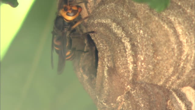 A wasp crawls around a nest as others  crawl in and out.
