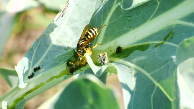 wasp decomposed caterpillar, separated headboard moves strongly - foraggiamento video stock e b–roll