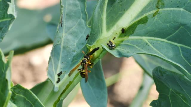 wasp decomposes caterpillar - foraggiamento video stock e b–roll