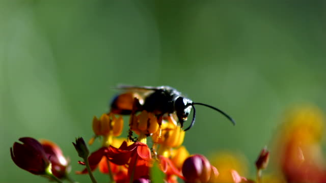 A wasp delicately crawls on small yellow and orange flowers. Available in HD.