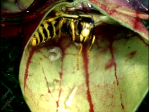 wasp drowning in sarracenia pitcher plant, with mosquito larvae, uk - 絶望感点の映像素材/bロール