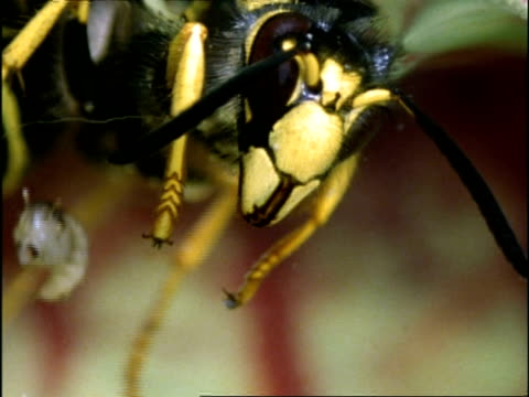 Wasp drowning in Sarracenia Pitcher Plant, with  Mosquito larvae, UK