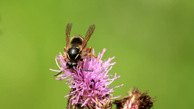 wasp feeding on thistle flower - pollination stock videos & royalty-free footage