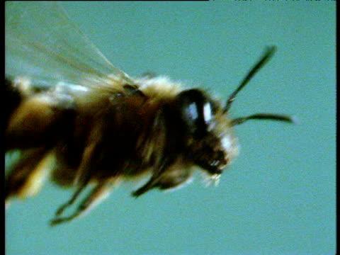 wasp flies against turquoise background - ブンブン鳴る点の映像素材/bロール