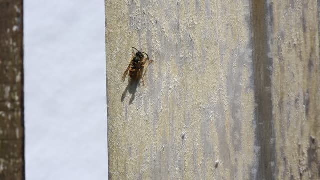 a wasp gathering wood to turn into papier mache to build its nest with. - papier stock videos & royalty-free footage