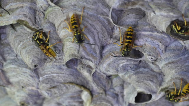 Wasp nest building