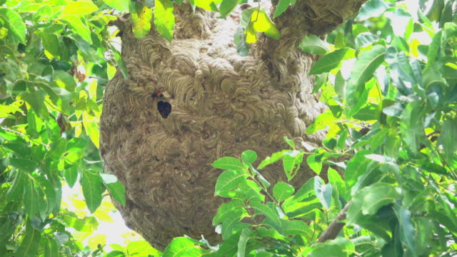 wasp nest on a tree - animal antenna stock videos & royalty-free footage