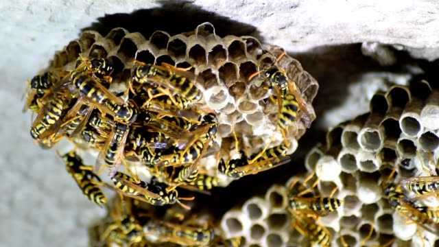wasp nest with wasps sitting on it. wasps polist. - pot belly stock videos & royalty-free footage
