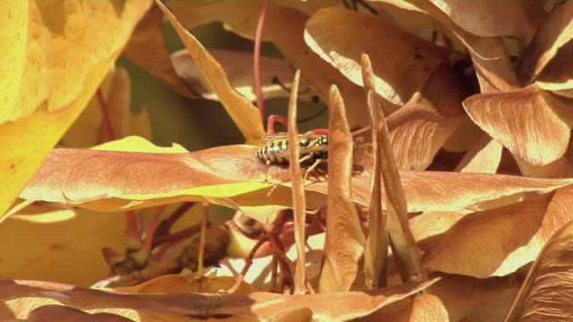 wasp on fall leaves - invertebrate stock videos & royalty-free footage