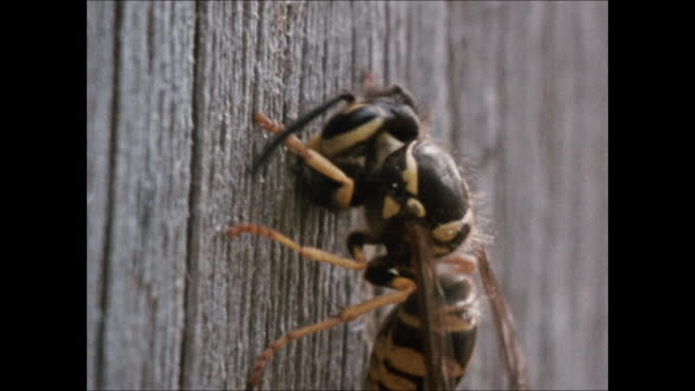 wasp on wood fence cu wasp biting soft weathered wood vs wasps walking crawling over nest into/out of entrance/exit single hole at bottom cu hole... - weathered stock videos & royalty-free footage