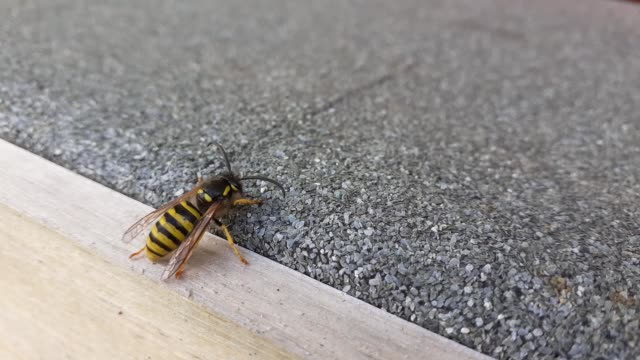 a wasp pumping its abdominal segments that telescope which facilitates the flow of air through the tracheal system, enabling it to breath. - belly stock videos & royalty-free footage