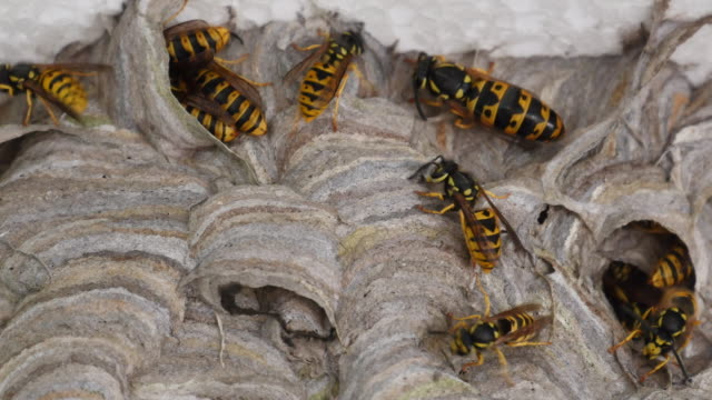 Wasp queen outside the nest