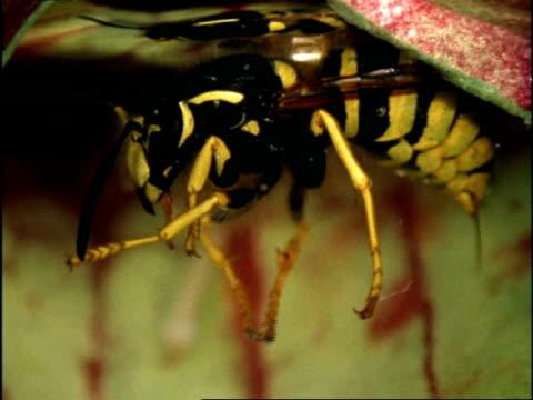 vídeos y material grabado en eventos de stock de wasp sinks to bottom of sarracenia pitcher plant, uk - onda irregular