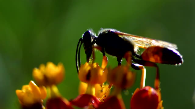 A wasp slowly crawls on a flower bloom and drinks nectar. Available in HD.