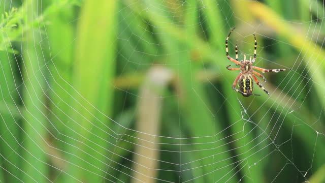 wasp spider (argiope bruennichi) spinning web - sphere stock videos & royalty-free footage